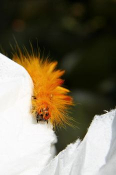 sycamore moth III by Sarah-on-Deviantart
