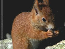 red squirrel baby 2 by KIARAsART