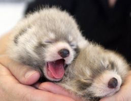 Baby red pandas by wildwolves