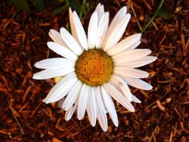 Stock Flower Daisy 2 by Carol-Moore