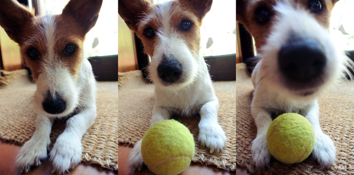 Lizzy Jack Russell Terrier by ChocoHal