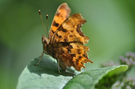 Painted Lady 1 by Dicky-Mint