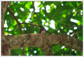 magpie on a tree.. by acidpilot