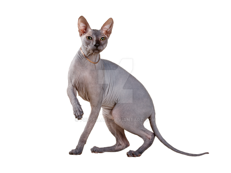 Sphynx cat on a transparent background. by PRUSSIAART