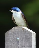 Tree Swallow guarding its nest by caillteone