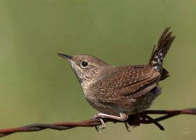 House Wren-Attitude by JestePhotography