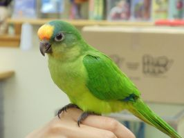 Peach Front Conure by MagicBirdie