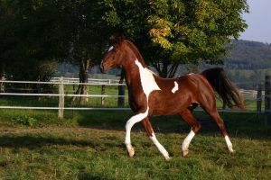 American Saddlebred Stock 11 by LuDa-Stock
