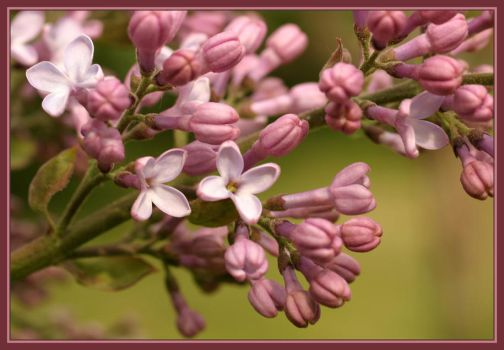 the first lilac of the year by grisling