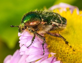 Green rose chafer 2 by Vitaloverdose