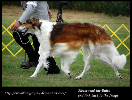 -Borzoi- :stock: by SRS-Photography