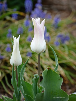 2 white tulips by Mogrianne