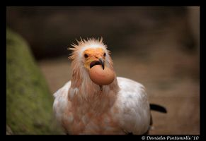 Egyptian Vulture by TVD-Photography