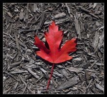 Red leaf. L1050405, with story by harrietsfriend