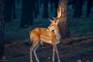 Even deers stare at sunsets by VitoDesArts