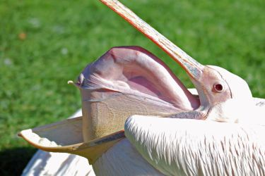 Great White Pelican by Lumen-Venator