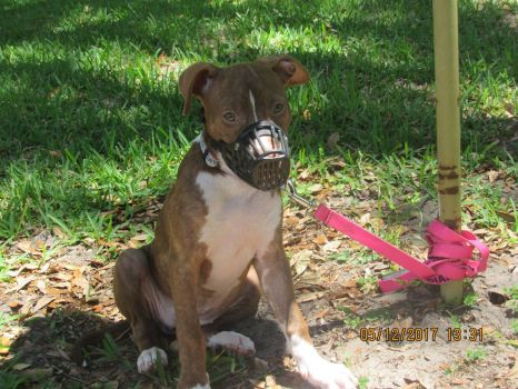 Muzzled and Tethered Pit Bull Puppy Stock by WingedWolfofHope