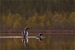 Black-throated Divers 1 by Starfall00