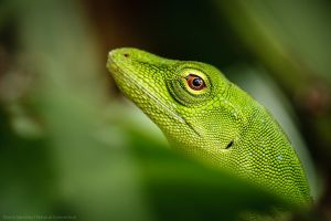 Anolis by MCN22