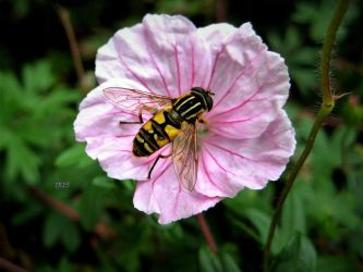 HOVERFLY by Iris-cup