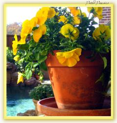 Potted Pansies by qbush