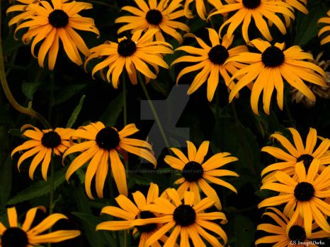 Blackeyed Susans2 by LSPhotographyStore