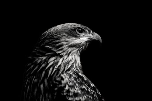 Whistling Kite BW by daniellepowell82