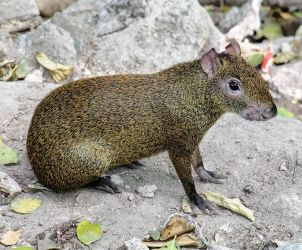 South American Agouti by sequential