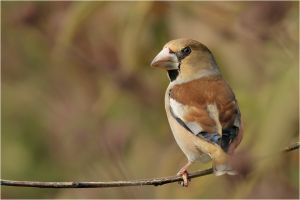 hawfinch II by nakitez