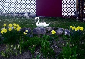 Swan and Daffodils by Toby-Linn