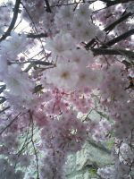 Cherry Blossoms by MillyT