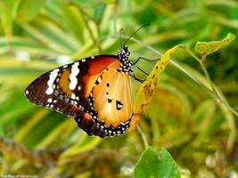 Plain tiger butterfly by Mike-Kossi