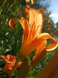 Backlit Tiger Lily 2013 by Aneirin-Aryon