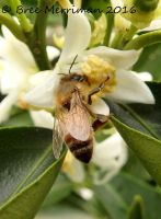 European Honey Bee by BreeSpawn