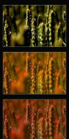 wheat in different colors by pinkblue