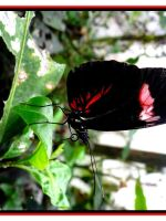 Black and Red Butterfly by crystalfalls