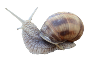 Snail [PNG] by IvaxXx