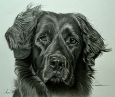 Commission - Newfoundland cross 'Sirina' by Captured-In-Pencil