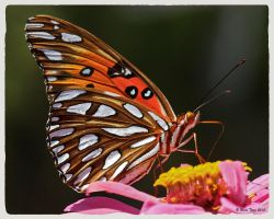 Gulf Fritilary by UncleTerry