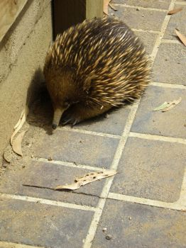 Echidna ... by youngnfree23