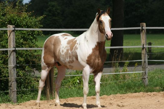 Paint horse stock by TigressStocks