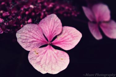 Softness of Pink by Muov