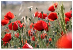Poppies by maska13