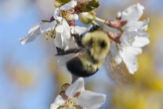 2018 Spring First Sighting,Bee and Blossoms Hover6 by Miss-Tbones