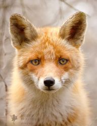 Sad Eyed Fox of the Lowlands by thrumyeye