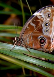 Owl Butterfly by KalitheArtist