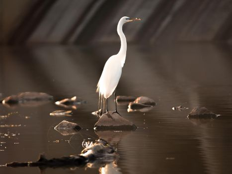 Oklahoma Great Egret cropped by MinhVisual