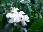 Spring Flower 2012 - 43 by Ingnition