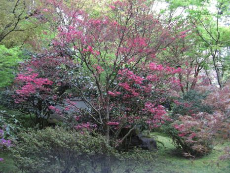 Japanese Maple by KarmasGarden