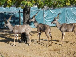 Lesser Kudu 3 by Busted-Love